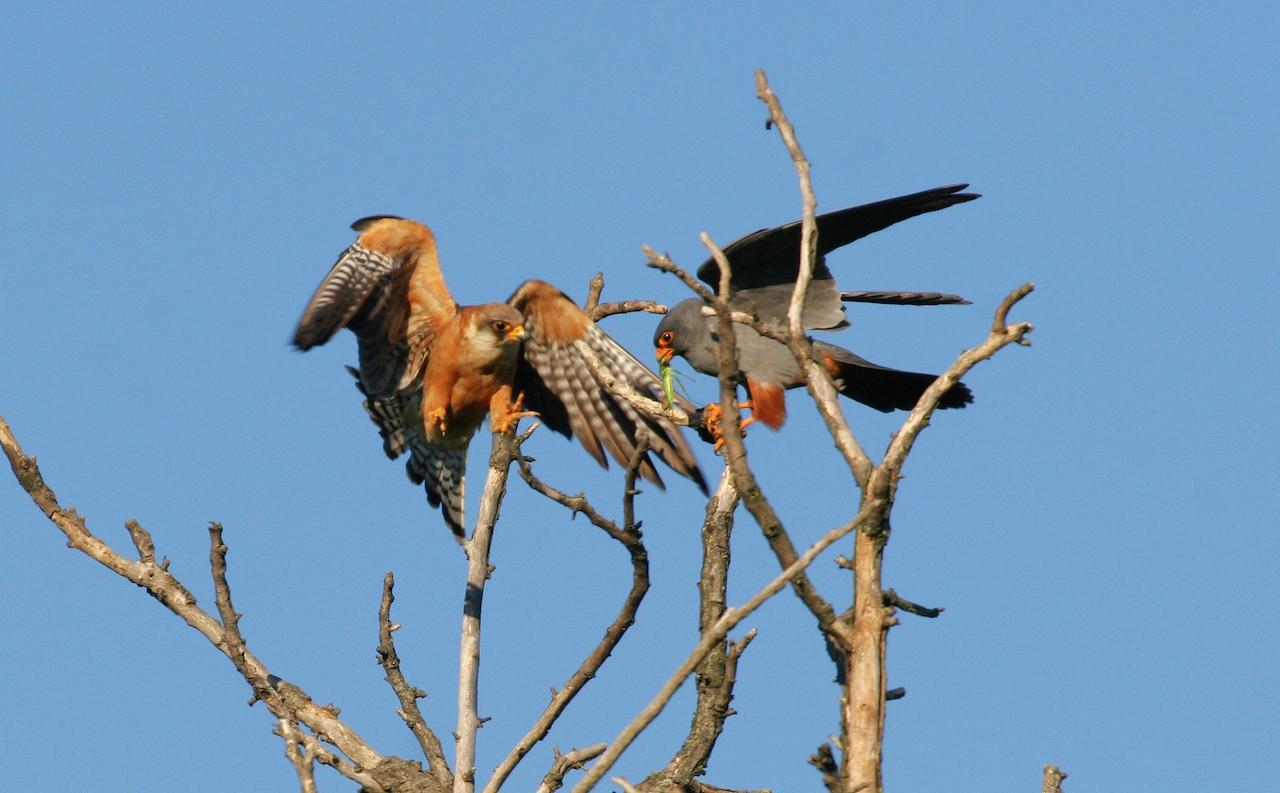 veľké somáre s veľkými vtáky čierny kohút príliš veľký pre bielu kundičku