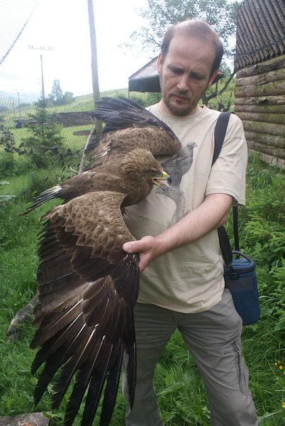 Foto_1_Preberanie orla kriklaveho vo voliére Zachrannej stanice Zazriva, autor Miroslav Lehocky